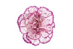 зацветая цветок гвоздики Стоковое Изображение RF