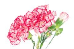 Зацветая цветок гвоздики Стоковое Изображение