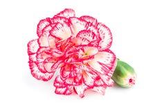Зацветая цветок гвоздики Стоковые Изображения