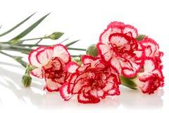 зацветая цветок гвоздики Стоковые Изображения RF