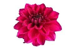Зацветая цветок георгина на белой предпосылке Стоковое Фото