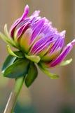 Зацветая цветок георгина Стоковая Фотография RF