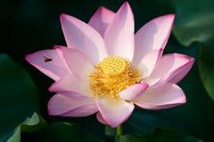 зацветая цветок лотоса в саде стоковое изображение rf