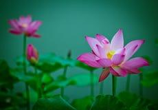 Зацветая цветок лотоса Стоковые Изображения