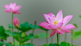 Зацветая цветок лотоса Стоковая Фотография