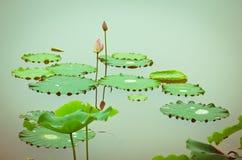 Зацветая цветок лотоса Стоковые Фото