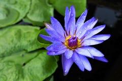 Зацветая цветок лотоса в пруде Стоковые Изображения