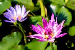 Зацветая цветок лотоса в пруде стоковая фотография rf