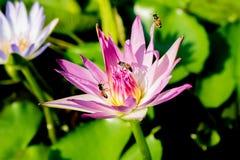 Зацветая цветок лотоса в пруде стоковое фото rf