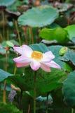 Зацветая цветок лотоса или nucifera Nelumbo Стоковое Фото