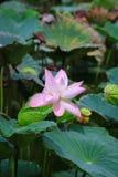 Зацветая цветок лотоса или nucifera Nelumbo Стоковое Изображение
