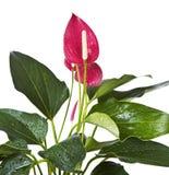 зацветая цветок фламингоа Стоковые Изображения RF
