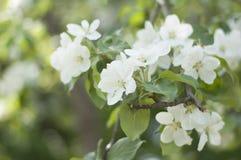 зацветая цветок яблони Стоковое Изображение