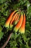 зацветая цветок Стоковые Фотографии RF
