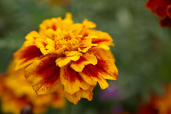 зацветая цветок Стоковая Фотография