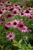 зацветая цветок echinacea конуса Стоковая Фотография