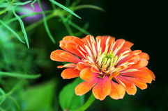 Зацветая цветок Gerbera Стоковые Изображения RF