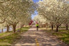 Зацветая яблони краба выравнивая путь велосипеда Стоковое Изображение RF