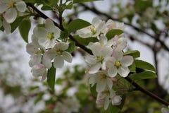 Зацветая яблоня стоковые фото