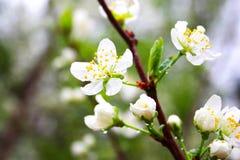 Зацветая яблоня с белыми цветками стоковая фотография rf
