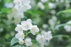 Зацветая яблоня с зеленым цветом выходит предпосылка Стоковые Изображения
