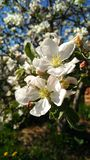 зацветая яблоня стоковые изображения rf