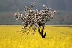 Зацветая яблоня в поле рапса Стоковая Фотография