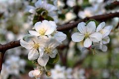 Зацветая яблоня Стоковые Изображения