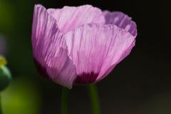 Зацветая яркий magenta мак Стоковые Фотографии RF
