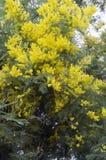 Зацветая яркое желтое farnesiana Vachellia, или мимоза Буш Стоковое фото RF