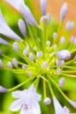 Зацветая Agapanthus стоковая фотография rf