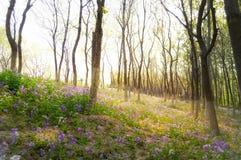 Зацветая Bluebells на свете восхода солнца Стоковое Изображение