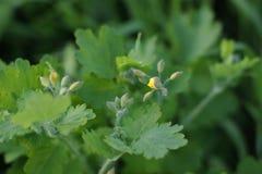 Зацветая celandine с бутонами в саде Стоковое Изображение