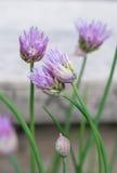 Зацветая chives Стоковое Фото
