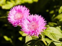 Зацветая cornflower сада цветет сирень летели стоковые изображения rf