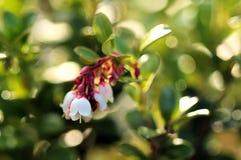 зацветая cowberry Солнечность Стоковое Изображение RF
