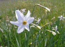 Зацветая daffodil весны Стоковые Изображения RF