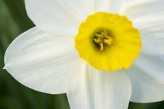 Зацветая daffodil весны Стоковые Фотографии RF