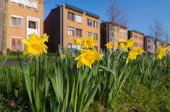 Зацветая daffodils стоковые изображения rf