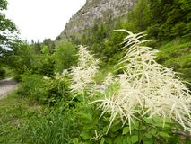 Зацветая dioicus Aruncus древесин-червя в горах Стоковое фото RF