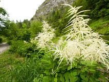 Зацветая dioicus Aruncus древесин-червя в горах Стоковая Фотография RF