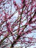 зацветая dogwood Стоковые Фото