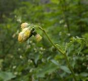 Зацветая erisithales Cirsium Thistle Thistle в горах Стоковое Фото