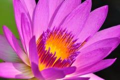 Зацветая fuchsia лотос Стоковые Изображения