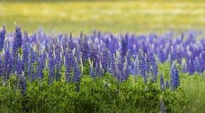 Зацветая Lupine цветет - polyphyllus Lupinus - сад или корм Стоковые Фотографии RF