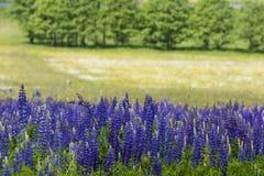 Зацветая Lupine цветет - polyphyllus Lupinus - сад или корм Стоковые Изображения