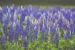 Зацветая Lupine цветет - polyphyllus Lupinus - сад или корм Стоковое Изображение RF