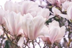 зацветая magnolia стоковая фотография