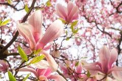 зацветая magnolia стоковое изображение rf