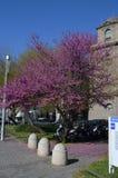 зацветая magnolia Стоковое Изображение